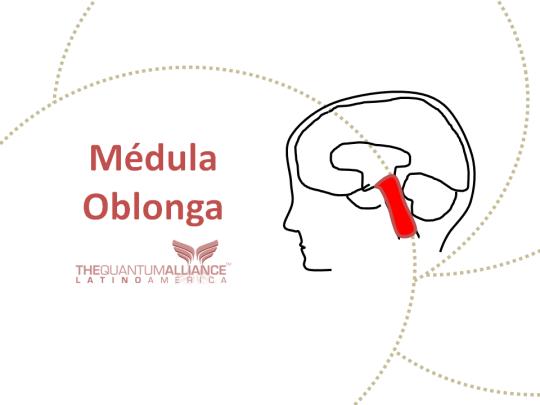 Médula Oblonga